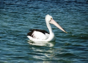 29-07-12 Black Neds Pelican