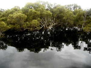 Black Neds Bay Mangrove Tree