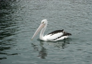 Black Neds Bay Pelican 8 27-10-11