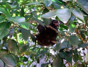 Chook in tree 01-08-11