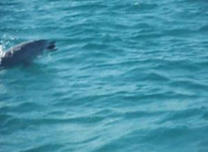 Redhead Beach dolphin 05-08-11