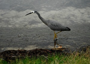 Herron Belmont South 14-01-12