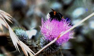 Bee on flowering thistle 1978