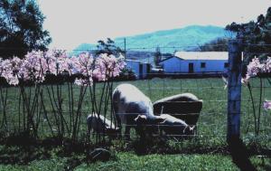 NZ Pigs 1977
