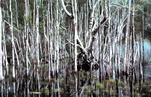 Dudley Swamp reflections 1979