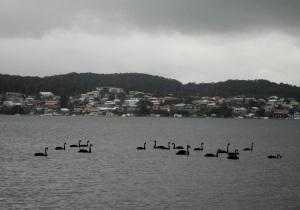 Swans Belmont Bay 14-01-12