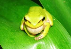 Little Green Frog 2008