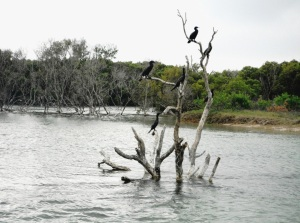 Black Neds Bay Cormorant Tree 04-01-14