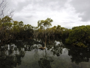 Mangroves in Black Neds Bay 22/08/14