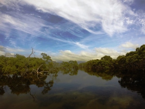 Mangroves Black Neds Bay 04-11-14