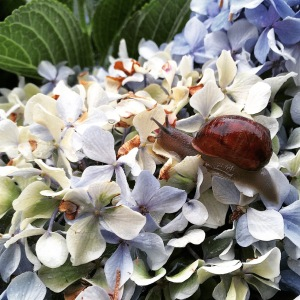 Ellens snail on hydrangeas 23-12-14