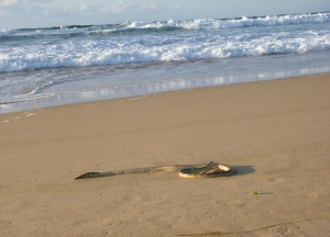 Sea Snake Redhead Beach 25-09-15