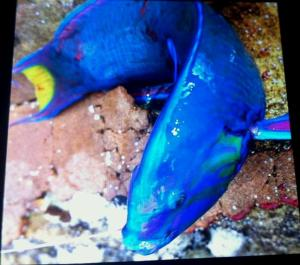 Yellow-green Wrasse