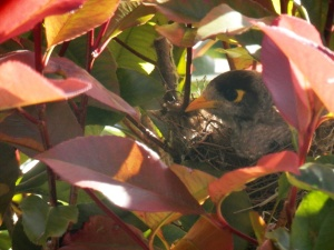 Myna bird in nest 06-11-16